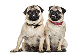 Pug dogs sitting together against white background