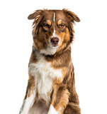Australian Shepherd dog against white background