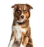 Australian Shepherd dog against white background