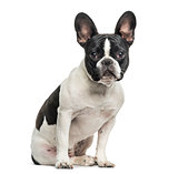 French bulldog looking at camera against white background
