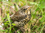 Turdus pilaris.Portrait of a thrush sitting on the ground close-
