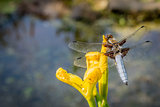 Dragon Fly on a flower viewed from above