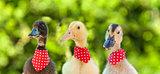 Cute ducklings in a row looking at the camera - closeup