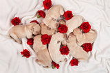 Yellow labrador puppy dog litter - newborn doggies with red carn