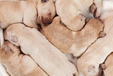 Bunch of yellow labrador puppies sleeping