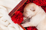 Newborn labrador puppy dog sleeping in flower box - closeup