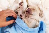 Newborn labrador puppy dog sleeping - woman hand adjust blanket