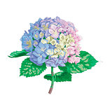 Beautiful gentle hydrangea flower isolated on white background. A large inflorescence on a stem with green leaves. Botanical vector Illustration.