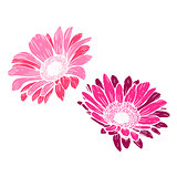 Cute pink daisies isolated on white background. Festive decorative elements for design poster, greeting card, photo album, banner. Botanical vector Illustration.