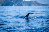 Whale in Kaikoura bay, New Zealand