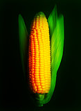 Corn ear isolated on black. Vector