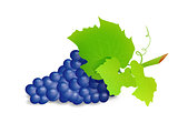 Grape branch with blue grapes. Realistic vector illustartion