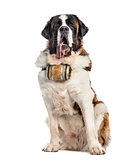 Sitting St. Bernard dog with a barrel (14 months old), isolated