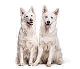 Swiss White Shepherd dogs sitting against white background
