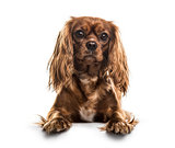 Cavalier King Charles Spaniel , 1 year old, lying against white