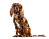 Cavalier King Charles Spaniel , 1 year old, sitting against whit