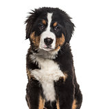 Bernese Mountain Dog , 4 months old, sitting against white backg