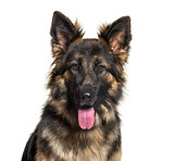 German Shepherd dog , 15 months old, against white background