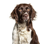 Munsterlander dog , 1 year old, against white background