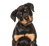 Rottweiler puppy , 3 months old, sitting against white backgroun