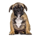 French Bulldog , 3 months old, sitting against white background