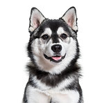 Pomsky dog portrait against white background