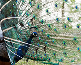 Male peafowl displaying tail feathers