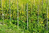 Vegetable garden in France.