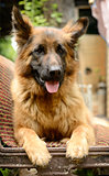 Young Fluffy Dog Breed German Shepherd lying in the garden outdoor.