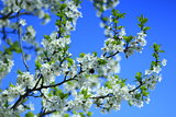 blossoming spring tree and the blue sky