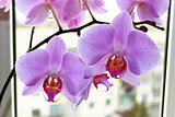 Fine branch of the blossoming pink orchid