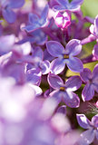 Close up of blossoming lilac .
