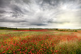 Vast wild red poppy fields landscape