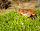 Brown forest frog sitting on the grass.