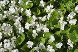 white viola odorata, top view