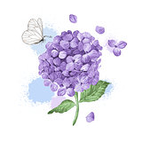 Hydrangea flower, butterfly and splashes in watercolor style isolated on white background. For greeting cards, prints.