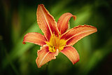 Lily Flower over Green