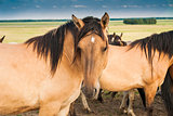Horse in the pasture of beige color