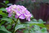 Purple hydrangea flower with green leaves in Japan outdoor garde