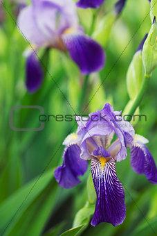 Iris flowers in spring