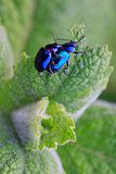 Two metallic beetle on a green mint leaf.