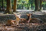 Sika deers Nara Park forest, Japan
