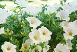 White petunia flowers in the sun