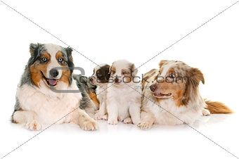 adult and puppies australian shepherd