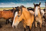 Herd of horses in pasture in summer