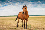 Young stallion in the field