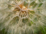 Giant Dandelion In A Close-up