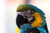 Horizontal close up of a Blue and Gold Macaw