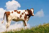 Calf on a Mountain Summer Pasture