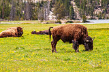 Bison grazing with others sleeping in background
